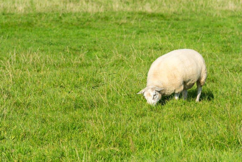 Le mouton mange l'herbe verte à la ferme photographie stock
