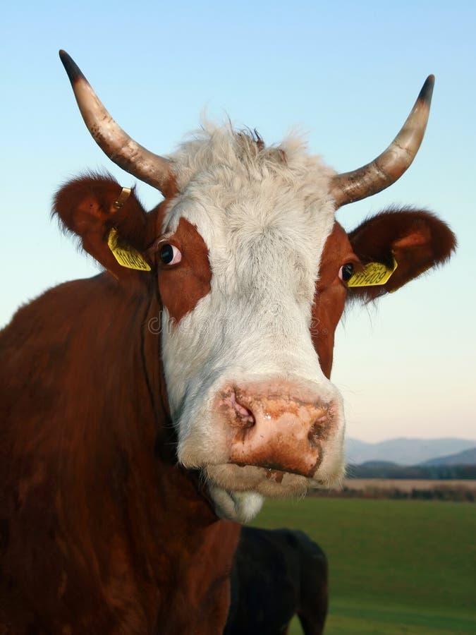 Le mucche fotografia stock