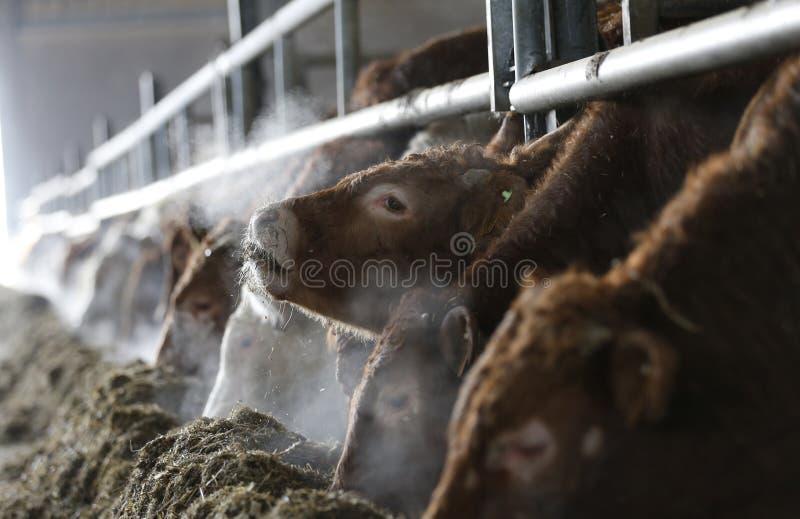 Le mucche bianche e marroni in una mucca da latte coltivano immagine stock