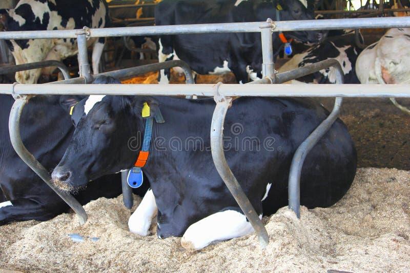 Le mucche bianche nere olandesi hanno sparso l'azienda agricola di affari, Paesi Bassi fotografie stock libere da diritti