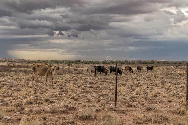 Le mucche che pascono in Namibia abbandonano sul modo a Sossuvlei fotografia stock
