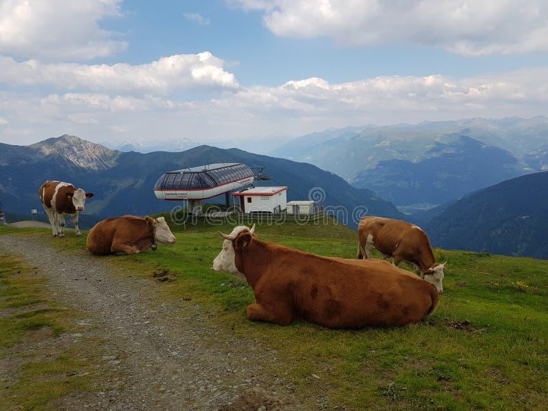 Le mucche che riposano sul livello alpen la montagna immagine stock