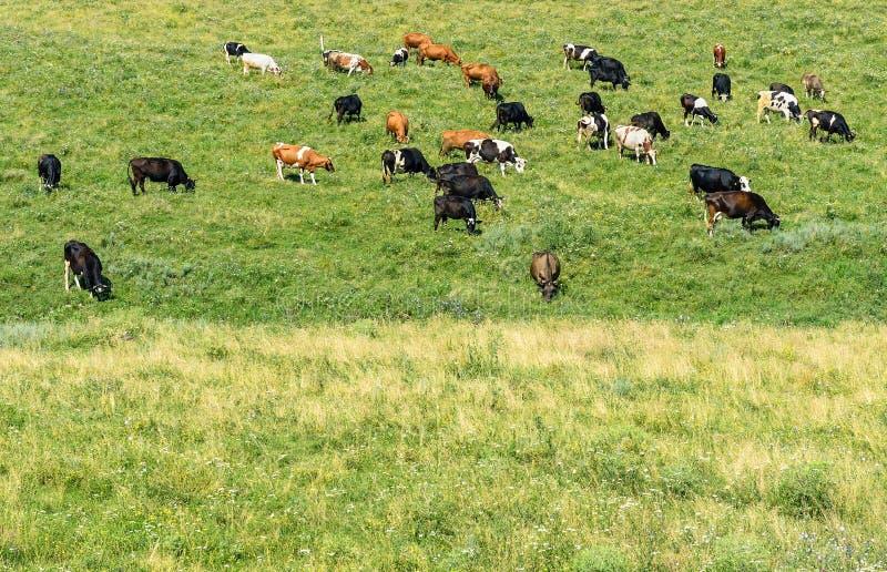Le mucche del gregge pasce sul pascolo verde della molla fotografia stock