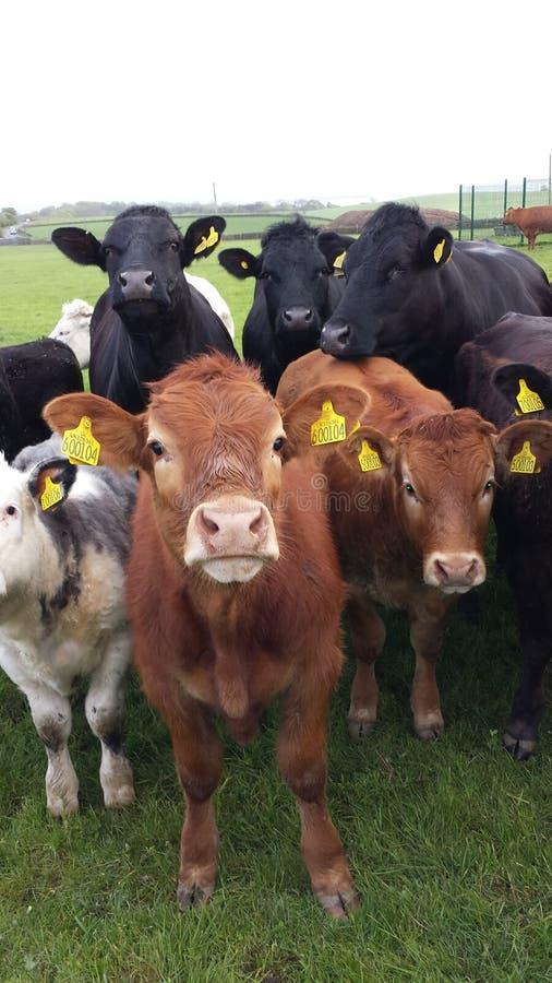 Le mucche ed i tori huddled per l'immagine del gruppo immagini stock
