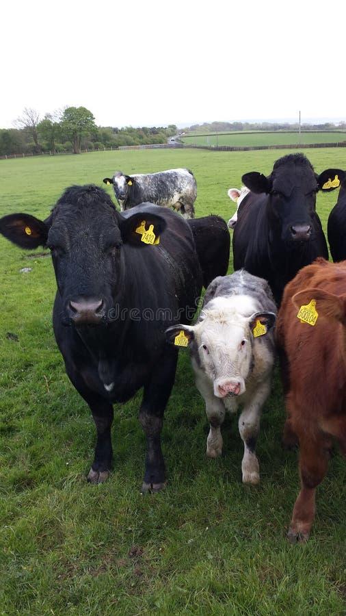 Le mucche huddled per un pic del gruppo immagine stock