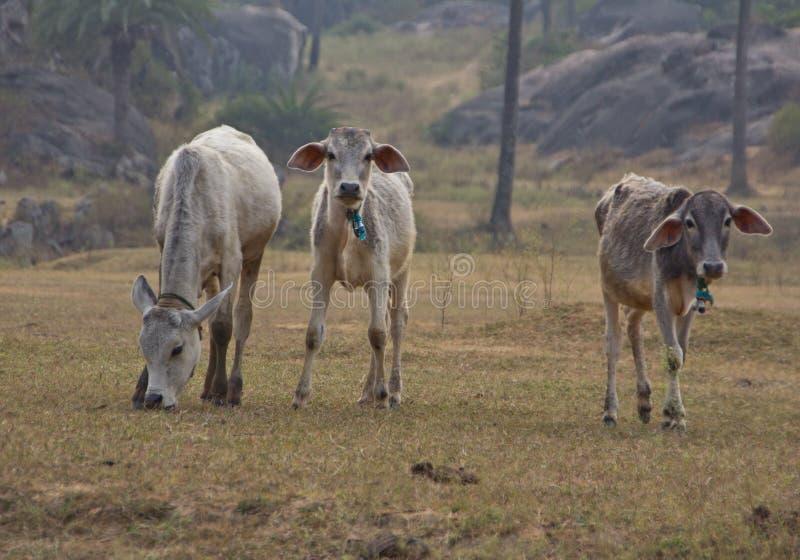 Le mucche indiane pascono fotografia stock libera da diritti