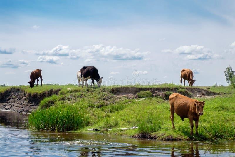 Le mucche mangiano l'erba dal fiume fotografie stock libere da diritti