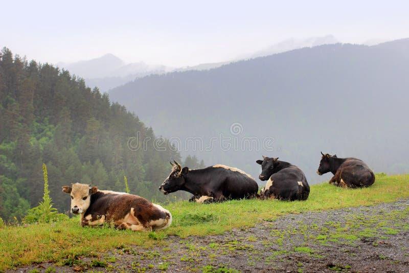 Le mucche nel villaggio di Omalo Regione di Tusheti (Georgia) immagine stock libera da diritti