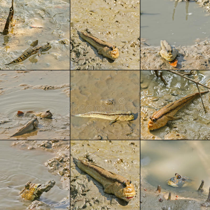 Le mudskipper géant, bleu a repéré le mudskipper rampant avec des ailerons dessus photo libre de droits