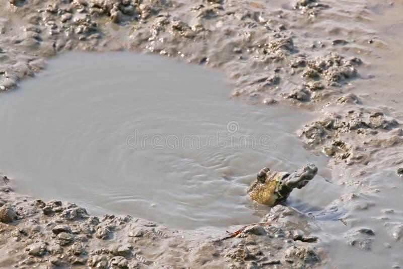 Le mudskipper repéré par bleu crache la boue de sa bouche pour faire un b images libres de droits
