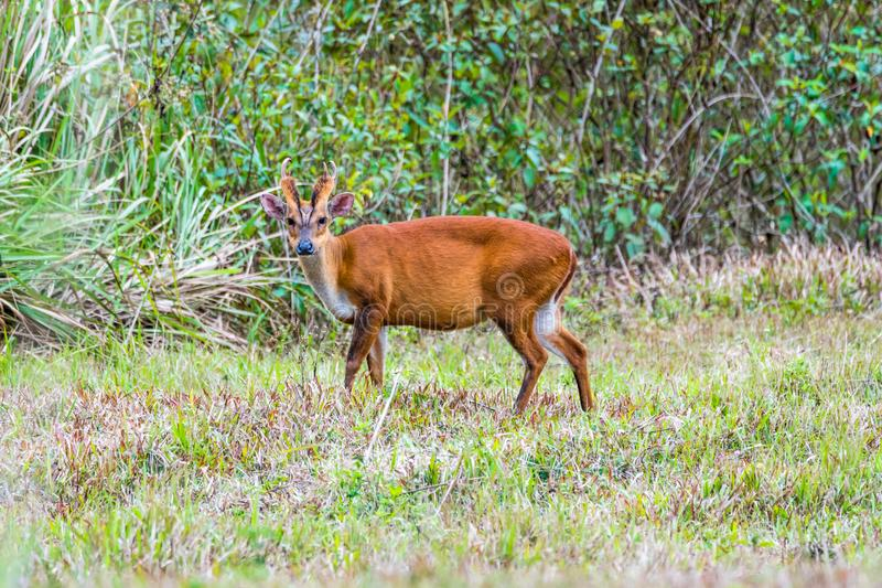 Le muntjac indien mangeant l'herbe image stock