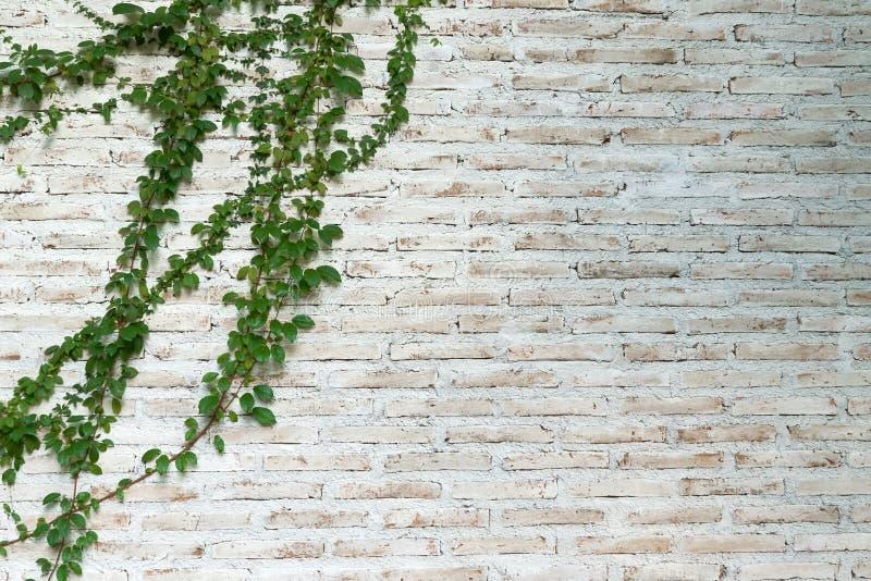 Le mur est fait en brique et puis peint dans le blanc Il y a des plantes grimpantes sur le mur gauche photographie stock