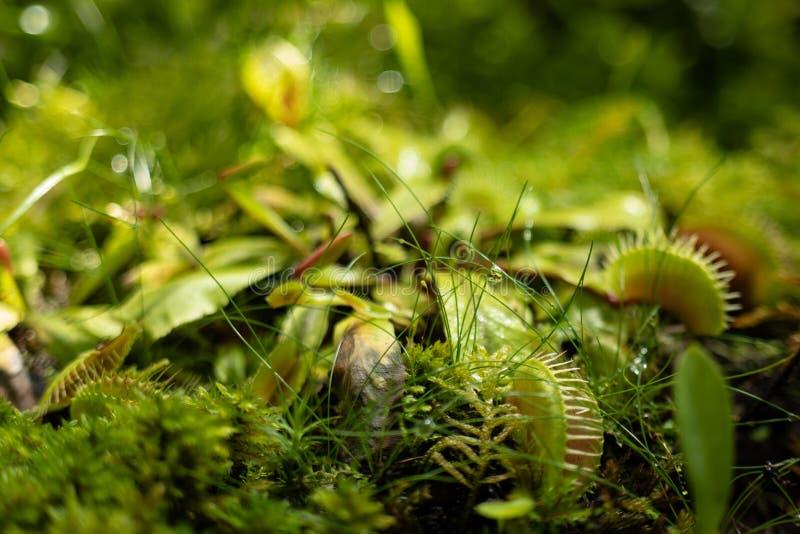 Le muscipula de Venus Fly Traps Dionaea et les usines carnivores de capensis de Drosera de dros?ras s?cr?tent les enzymes digesti photographie stock libre de droits
