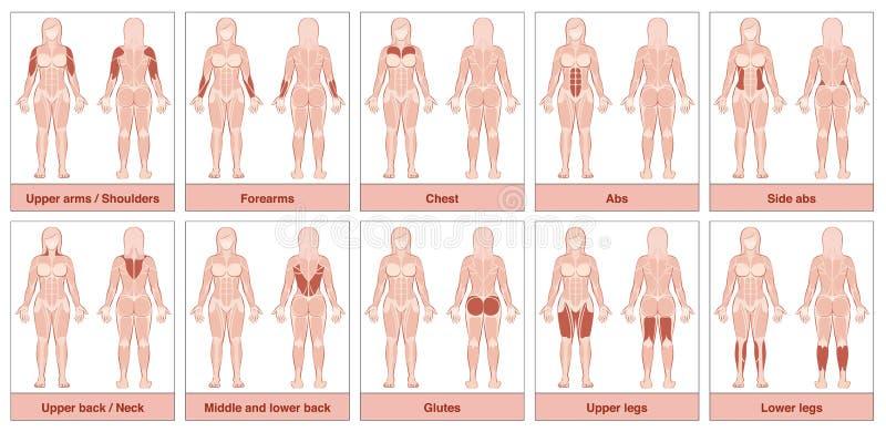 Le muscle groupe la femme de diagramme illustration stock