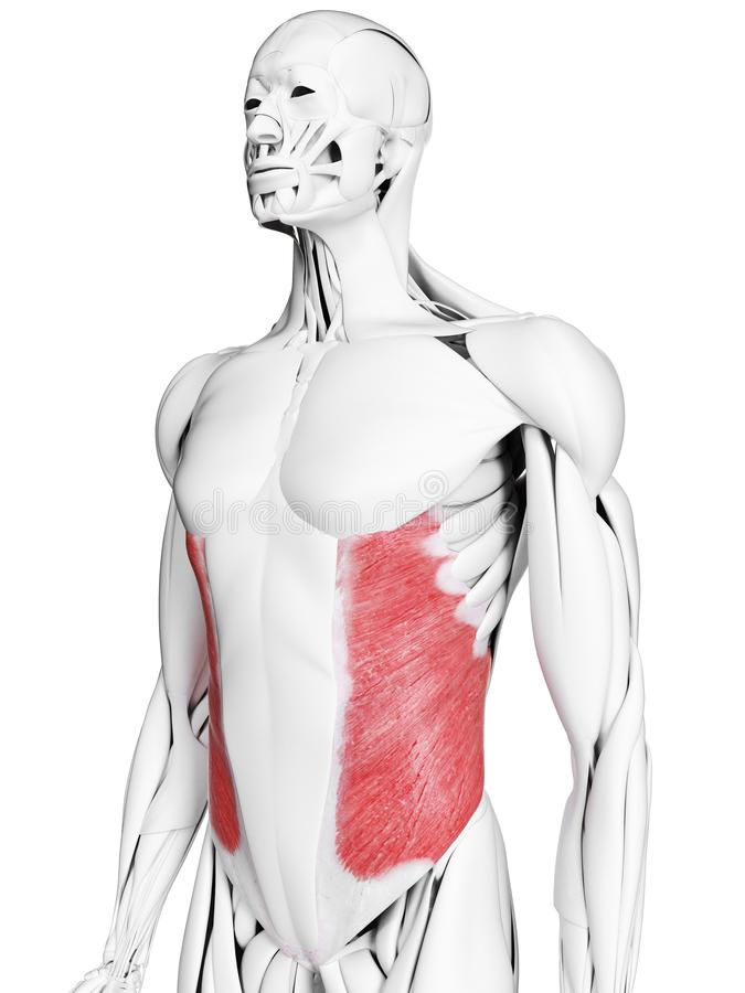 Le muscle oblique externe illustration libre de droits