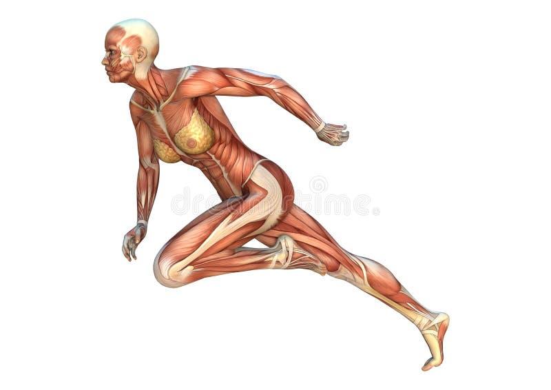 Le muscle trace la figure femelle illustration stock