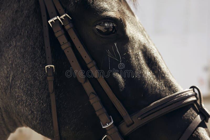Le museau d'un cheval noir, portant un frein photo stock