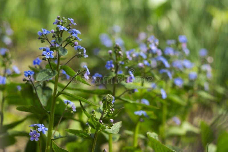 Le Myosotis m'oublient pas, scorpion engazonne - de petites fleurs bleues fleurissantes, fond Usine sensible de ressort dans le j photo stock