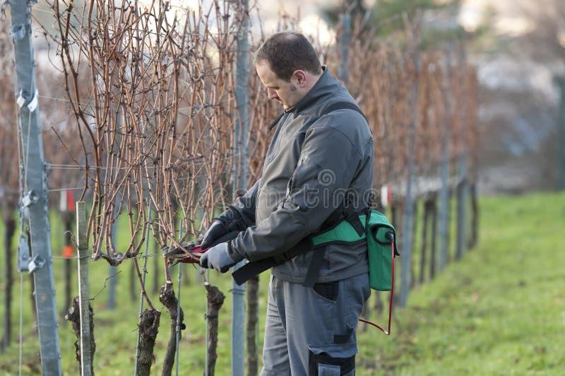 Le négociant en vins est élagage dans le vignoble photos libres de droits