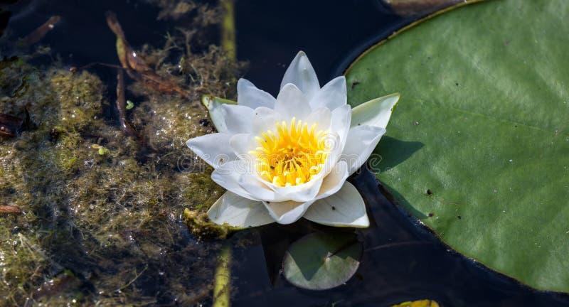 Le nénuphar de flottement fleurissent avec de petits insectes et grande feuille verte de côté dans le marais sale foncé photos stock