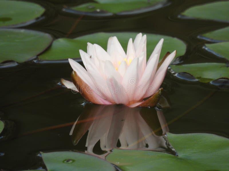 Download Le Nénuphar Est Reflété Dans L'eau Image stock - Image du botanique, lotus: 87704935