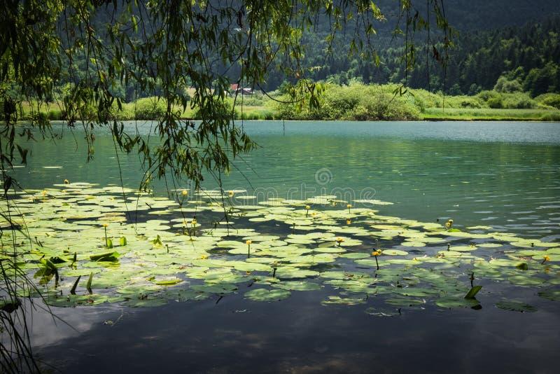Le nénuphar plante la texture sur le podpesko de lac dans l'été, Slovénie photographie stock
