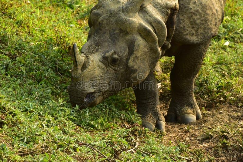 Le Népal, parc national de Chitwan Rhinio image stock