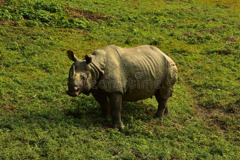 Le Népal, parc national de Chitwan Rhinio photo stock