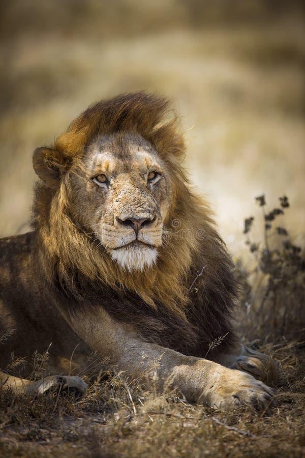 Le?n africano en el parque nacional de Kruger, Sur?frica fotos de archivo