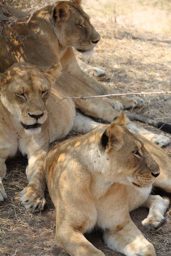 Le?n debajo del ?rbol en el parque nacional del ruaha imágenes de archivo libres de regalías