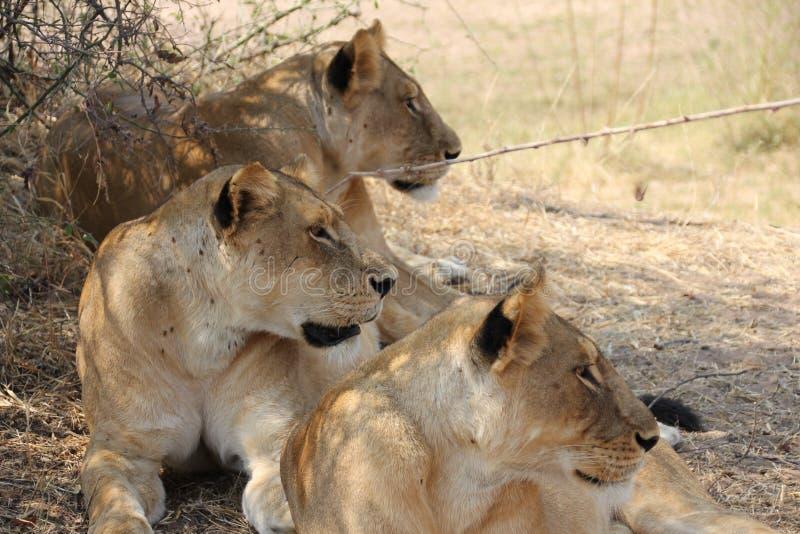 Le?n debajo del ?rbol en el parque nacional del ruaha foto de archivo libre de regalías