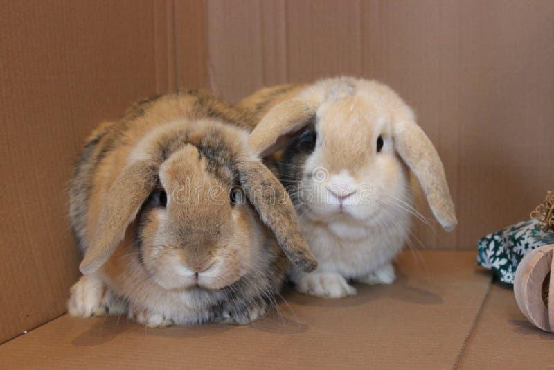 Le nain taillent les animaux familiers d'intérieur de frères de lapin photo stock