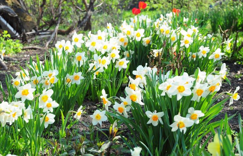 Le narcisse blanc de jardin de ressort fleurit avec le lit de fleur rouge de tulipes photographie stock