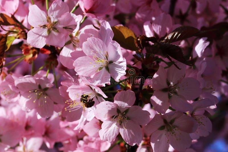 Le nectar des arbres fruitiers attire beaucoup d'insectes photo stock