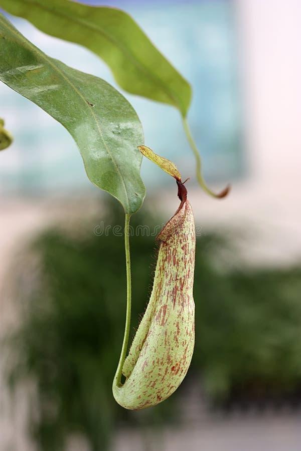 Nepenthes photo libre de droits
