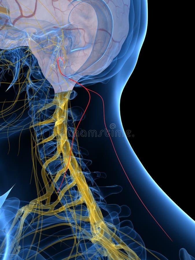 Le nerf accessoire illustration de vecteur