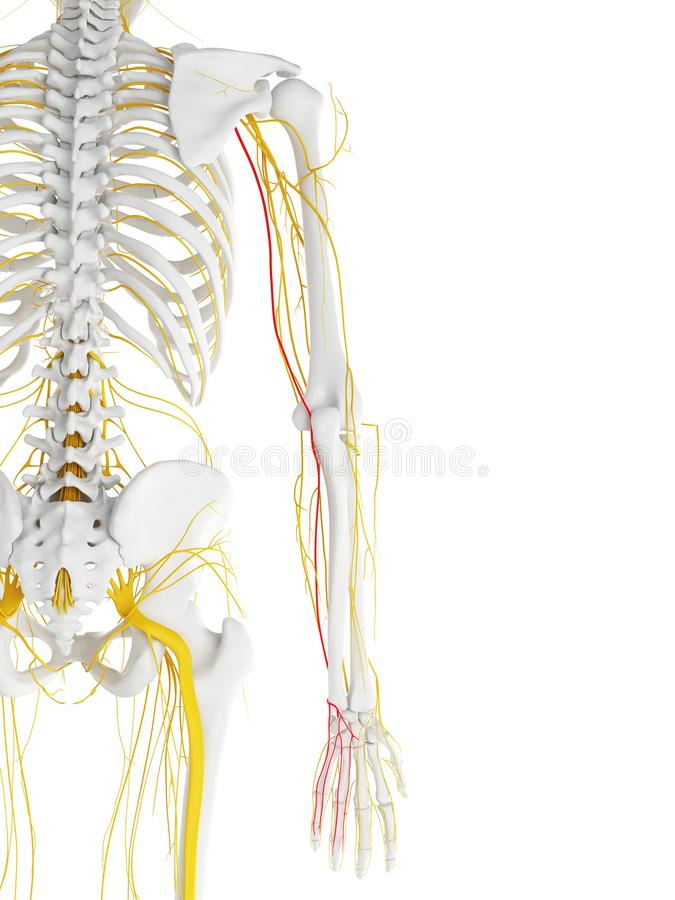 Le nerf cubital illustration stock