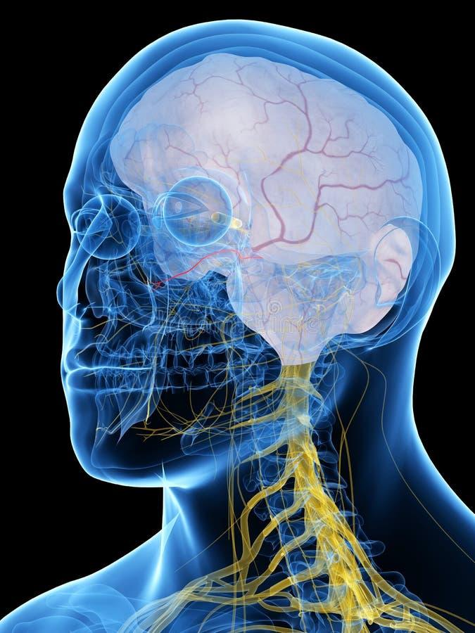 Le nerf maxillaire illustration de vecteur