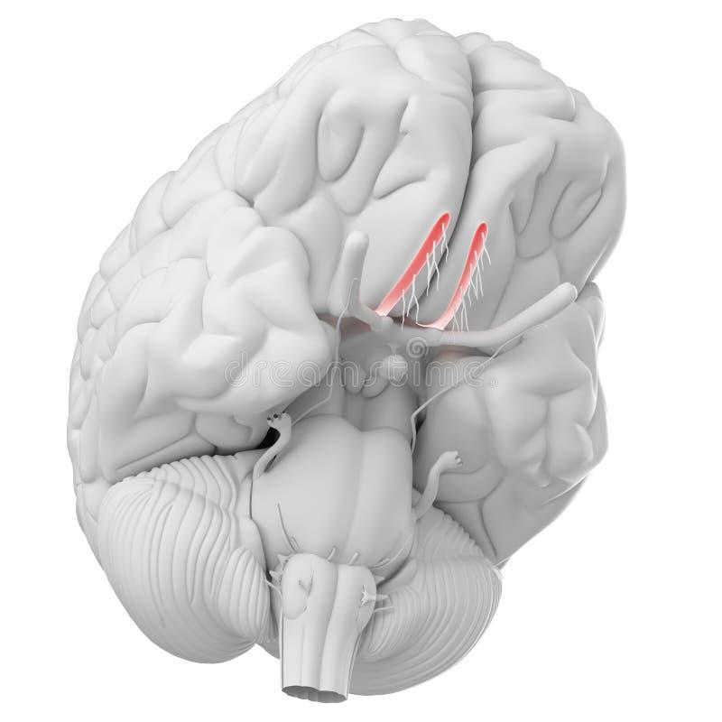 Le nerf olfactif illustration libre de droits