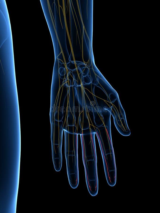Le nerf palmaire approprié de médiane de branches de Digital illustration de vecteur