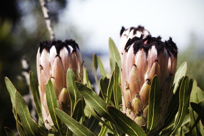 Le neriifolia de protea de Protea de feuille d'oléandre fleurit en pleine floraison image libre de droits