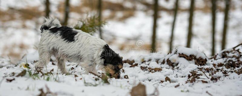 Le nez tricolore de race de Jack Russell Terrier suit une voie pendant l'hiver neigeux photographie stock