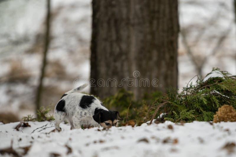 Le nez tricolore de race de Jack Russell Terrier suit une voie pendant l'hiver neigeux photo stock