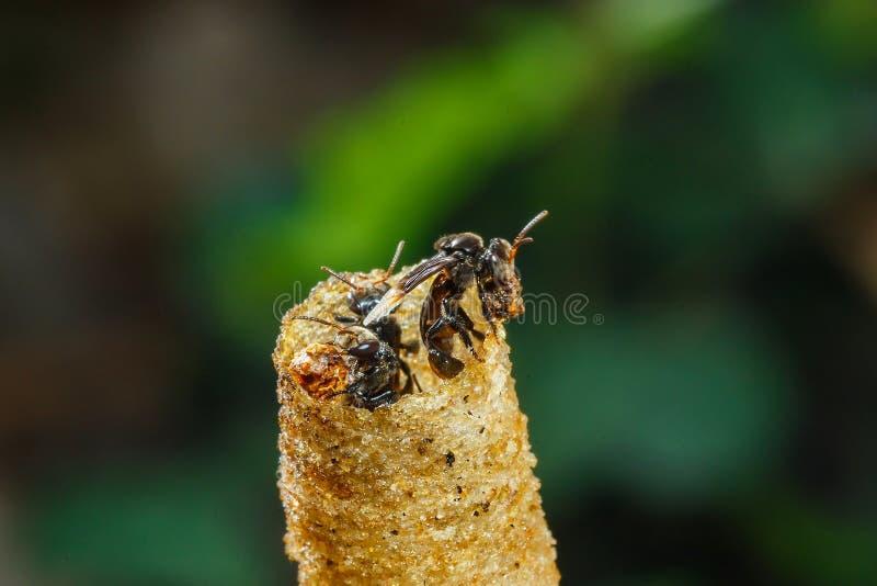 Le nid, abeille Stingless, a parfois appelé les abeilles stingless de miel, tache floue, foyer mou photos stock