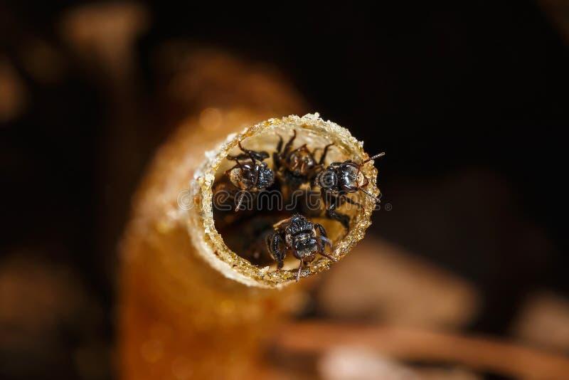 Le nid, abeille Stingless, a parfois appelé les abeilles stingless de miel, tache floue, foyer mou images stock
