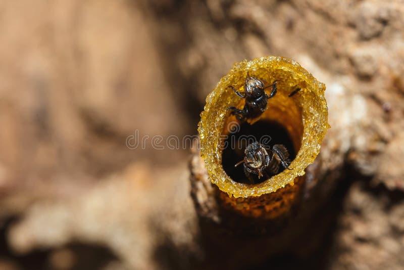 Le nid, abeille Stingless, a parfois appel? les abeilles stingless de miel, tache floue, foyer mou image libre de droits