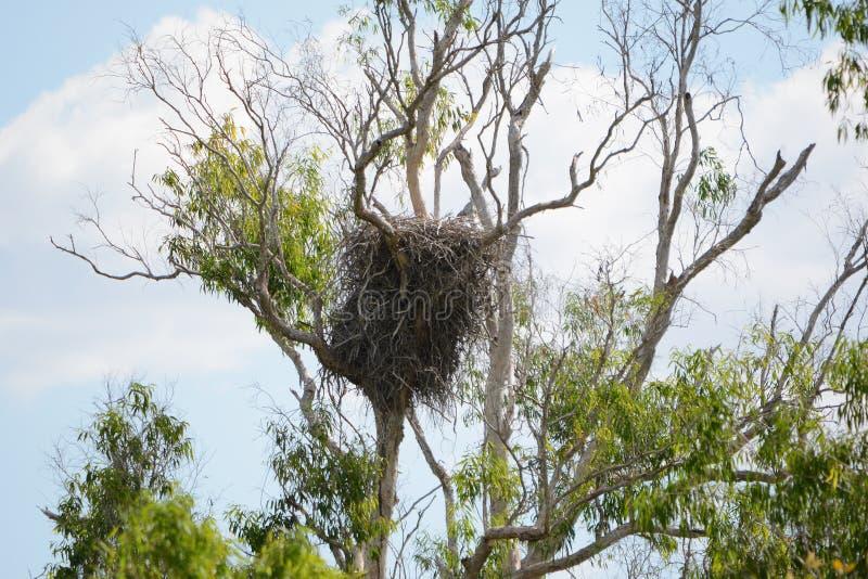Le nid d'un blanc s'est gonflé l'aigle de mer près de Darwin Western Australia photo libre de droits