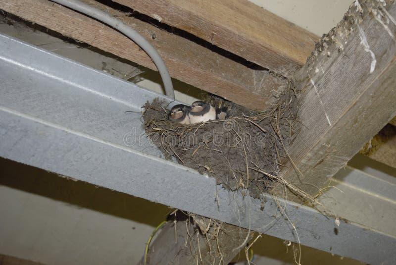 Le nid d'un oiseau avec de petits oiseaux photos libres de droits