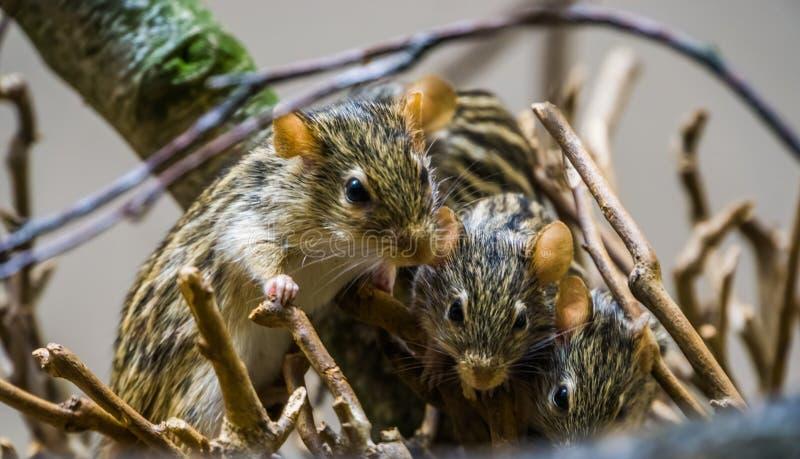 Le nid de Barbarie a barré la souris d'herbe en plan rapproché, rongeurs populaires d'Afrique photo stock
