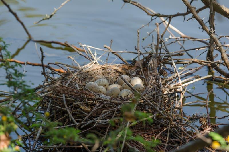 Le nid de la poule d'eau commune avec des oeufs photographie stock libre de droits